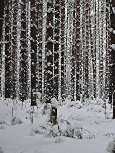 Картинка Зимние Лес Снеге Дерево Ствол дерева Природа