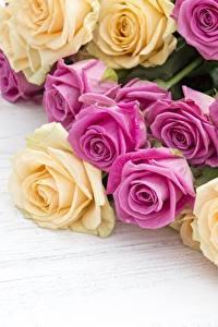 Фотографии Розы Крупным планом Цветы