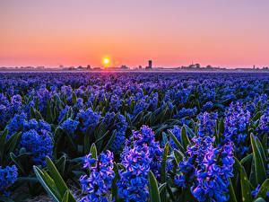 Обои для рабочего стола Поля Рассветы и закаты Гиацинты Много Голубая Солнце Цветы