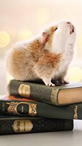 Картинка Морские свинки Книга Размытый фон Животные