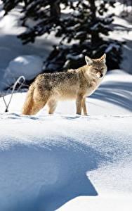 Фотографии Зима Снег Coyote Животные