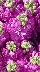 Картинка Маттиола Вблизи Розовая Бутон цветок