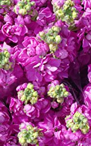 Картинка Маттиола Вблизи Розовый Бутон Цветы