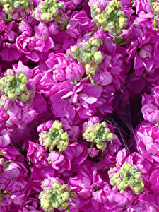 Картинка Маттиола Вблизи Розовая Бутон Цветы