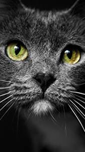 Картинка Кошки Усы Вибриссы Смотрят Морды Черный фон Животные