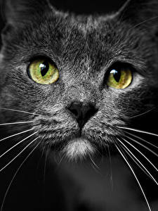 Картинка Кошки Усы Вибриссы Смотрят Морды Черный фон животное