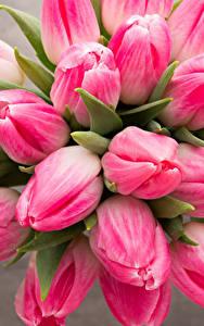 Фото Тюльпаны Вблизи Розовый цветок
