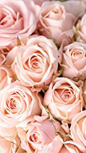 Обои Розы Вблизи Розовый