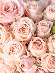 Обои Роза Вблизи Розовая цветок