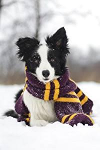 Обои Собаки Зимние Бордер-колли Шарф Снег Животные