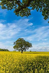 Картинка Поля Рапс Дерева На ветке Природа