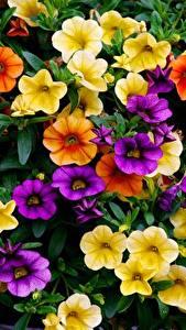 Обои для рабочего стола Много Петунья цветок