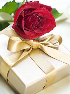 Фотография Праздники Роза Бордовая Подарки Бантики цветок