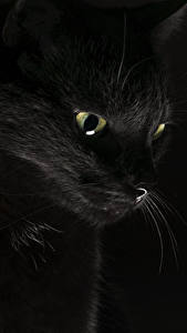 Фотография Коты Черный Черный фон Животные