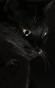 Фотография Кошки Черный Черный фон