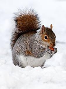 Картинки Зима Белки Снег Животные
