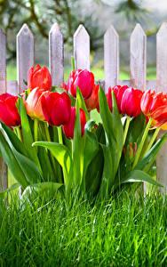 Фотография Тюльпан Забором Траве Красный цветок