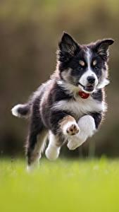 Фото Собака Прыгать Бегущая Бордер-колли Щенки Животные