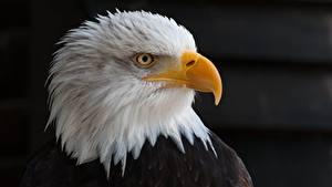 Обои для рабочего стола Птица Орлы Смотрят Клюв Голова На черном фоне Белоголовый орлан Животные