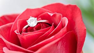 Фотографии Вблизи Розы Макро Алмаз обработанный Кольцо Цветы