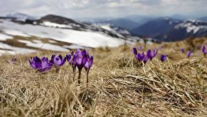 Картинка Шафран Весна Траве Фиолетовых Размытый фон цветок