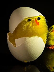 Фото Птенец курицы Черный фон Яйца Животные