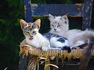 Фотографии Кошка Две Котенок Стул Животные