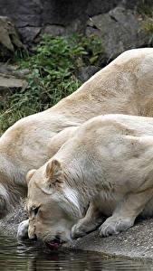 Картинки Большие кошки Львы 2 Пьет воду Животные