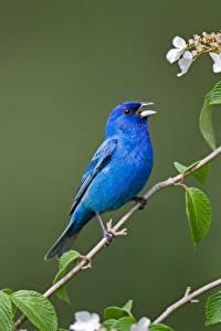 Фотография Птицы Ветвь Синий Indigo bunting животное