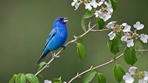Фотография Птицы Ветвь Синий Indigo bunting Животные