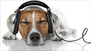 Картинка Собаки Наушники Морды Джек-рассел-терьер Белый фон Спят Релакс животное