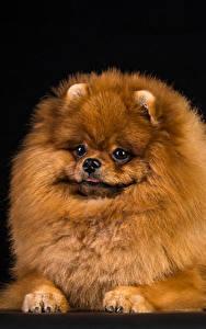 Фотография Собака Черный фон Шпиц Смотрят животное