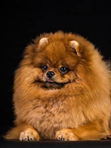 Обои для рабочего стола Собака Черный фон Шпиц Смотрят животное