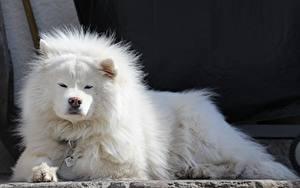 Фотография Собака Самоедская собака Белых Лежат Смотрит Животные