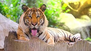 Обои Тигр Сибирский Языком Смотрит Лежа Животные