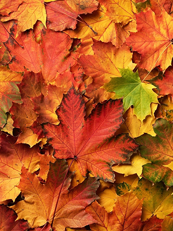 Картинки Листва клёна Осень Природа Много 600x800 для мобильного телефона лист Листья Клён клёновый осенние