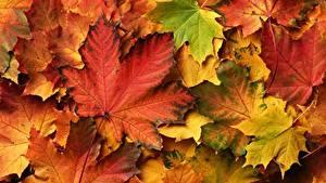 Картинки Осень Много Листва Клёна