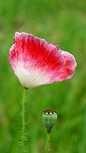 Картинки Маки Крупным планом Боке Бутон Цветы