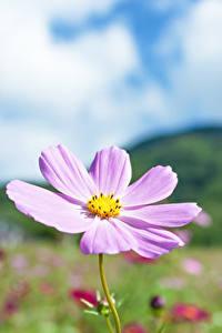 Обои для рабочего стола Космея Боке Розовая цветок
