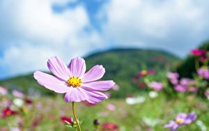 Картинка Космея Боке Розовая цветок
