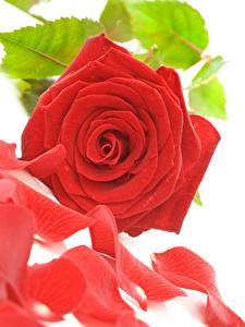 Фотография Розы Вблизи Белый фон Красный Лепестки Цветы
