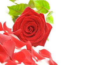 Фотография Розы Вблизи Белым фоном Красный Лепестков цветок