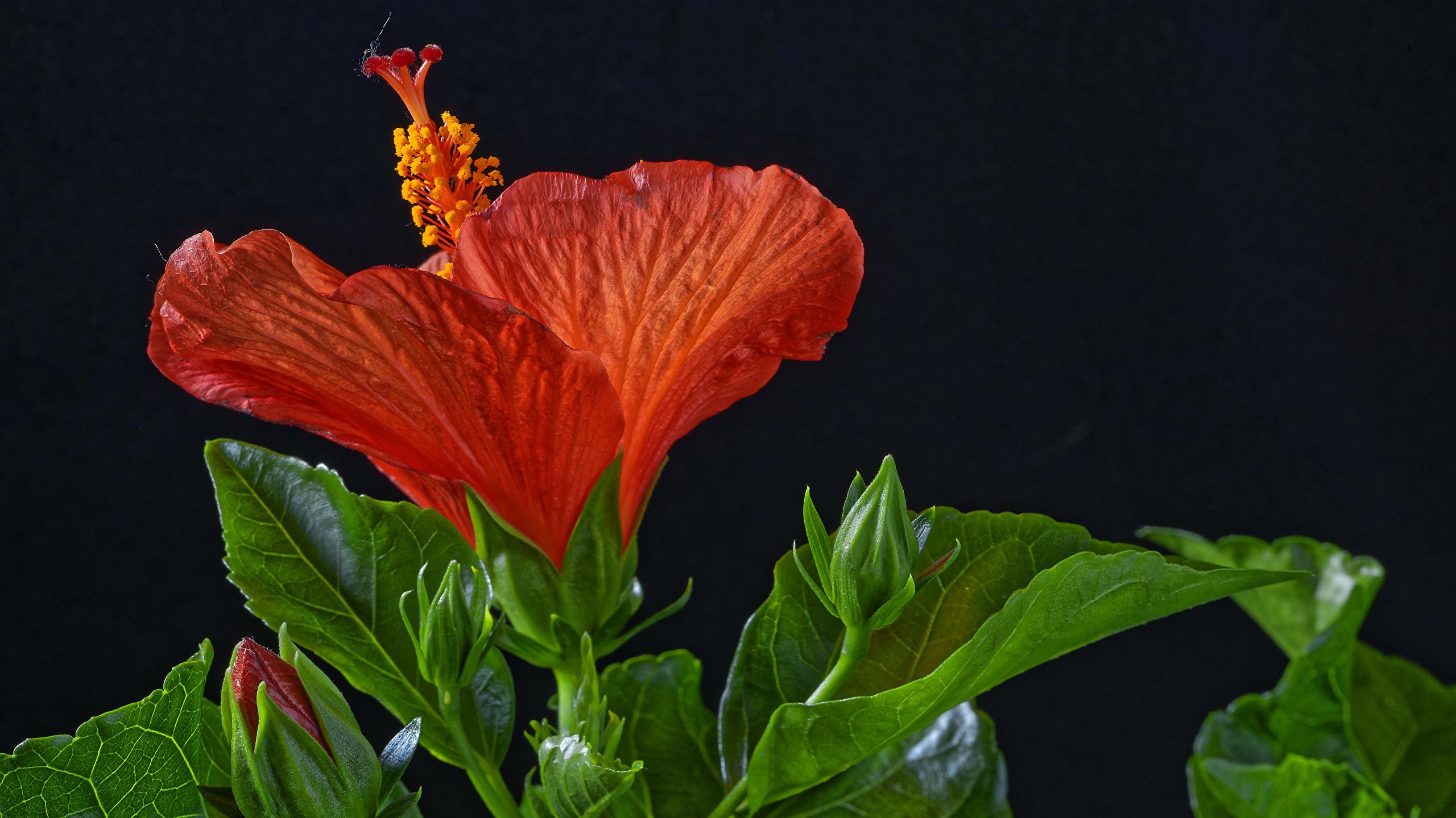 Фотография красная Цветы Гибискусы Бутон на черном фоне Крупным планом 2560x1440 красных красные Красный цветок вблизи Черный фон