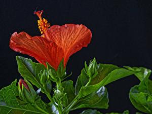 Фотография Гибискусы Вблизи На черном фоне Красных Бутон Цветы