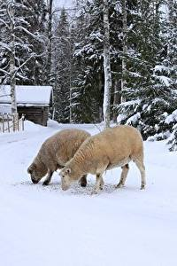 Фотографии Зима Овцы Снег Вдвоем Животные