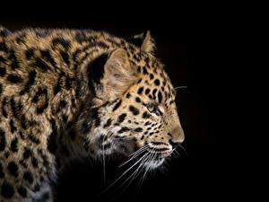 Фотографии Большие кошки Леопарды Черный фон Усы Вибриссы Животные