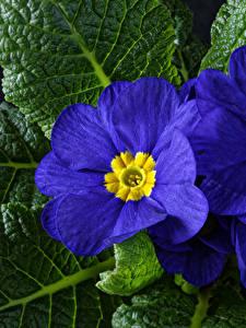 Обои Примула Крупным планом Синий Цветы