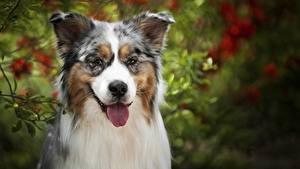 Фотографии Собаки Австралийская овчарка животное