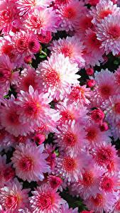 Фото Хризантемы Много Вблизи Розовые Цветы