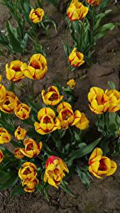 Обои Тюльпан Сверху Желтый Цветы